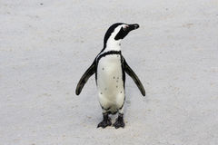 Penguin. Beautiful Black-footed Penguin standing on the beach in South africa royalty free stock images