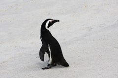 Penguin. Beautiful Black-footed Penguin standing on the beach in South africa royalty free stock photos