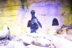 Free Penguin Stock Photography - 110539332