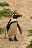 Penguin. A Jackass Penguin walking - Boulders beach Royalty Free Stock Photography