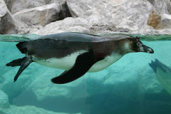 Penguin. Swimming penguin with his head under water Stock Photos