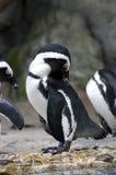 penguin Στοκ Φωτογραφίες