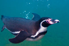 Penguin. A penguin swimming in a pool Stock Photos