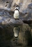 Penguin. Standing by edge of water Stock Photo