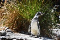 penguin lizenzfreies stockbild