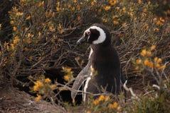 Penguin. Magellanic penguin reserve at Punta Tombo, Patagonia stock photo