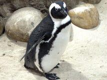 penguin Στοκ εικόνες με δικαίωμα ελεύθερης χρήσης