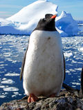 Penguin Royalty Free Stock Photos