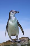 Penguin. Lonely Penguin with blue sky Royalty Free Stock Image