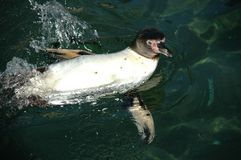 penguin στοκ φωτογραφία