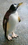 Penguin 2 Stock Photo