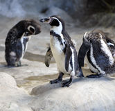 Penguin. Portrait of a penguin surrounded by relatives Royalty Free Stock Image