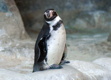 Penguin. Portrait of a penguin surrounded by relatives Stock Photos