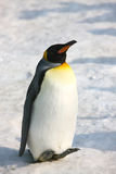Penguin. The penguin in the winter stock photos