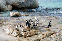 Penguin. S in that sews from Simonstown Royalty Free Stock Image