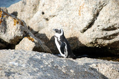 Penguin. In that sews from Simonstown Stock Photo