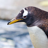 Penguin. Closeup of a Gentoo penguin (Pygoscelis papua Stock Photography
