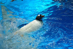 Penguin. Swimming in cold waters at Ocean park , Hong Kong stock images