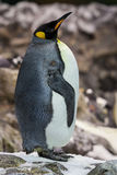 Penguin. Emperor penguin. Endemic species of the Antarctic Royalty Free Stock Images