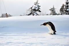 Penguin. At Asahiyama Zoo in Asahikawa (Hokkaido, Japan Stock Photography