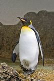 Penguin. Portrait Royalty Free Stock Photography