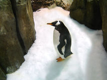 Penguin. A penguin (manchot) in antartic Stock Images
