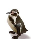 penguin Στοκ φωτογραφία με δικαίωμα ελεύθερης χρήσης