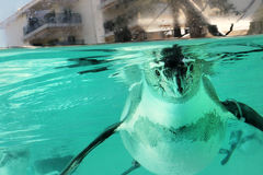 Penguin. Funny candid portrait of a penguin in a pool Stock Photography