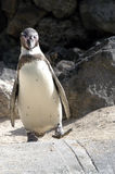 Penguin 4 Stock Photography