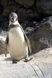 Penguin 4. Penguin walking towards camera stock photography