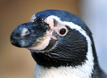 Penguin. Close-up shot of a young Penguin Royalty Free Stock Images