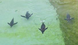 penguin Immagine Stock