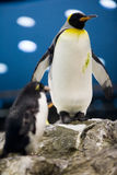Penguin. A beautiful penguin on the rocks royalty free stock image