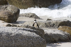 penguin Lizenzfreies Stockfoto