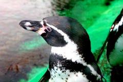 penguin fotografia stock