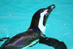 Penguin. Swimming in blue water stock photography
