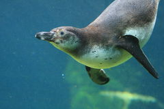Penguin. A fast swimming penguin under water royalty free stock image