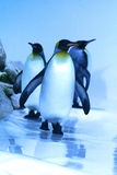 Penguin. A group of penguin in theirs abitat natural Royalty Free Stock Image