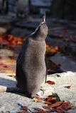Penguin. Back of young penguin looking up Royalty Free Stock Images
