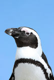Penguin. This image shows a portrait from a penguin stock photos