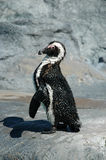 Penguin. African Penguin Stock Images