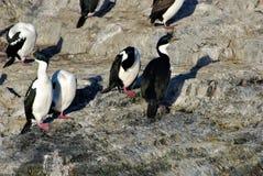 penguin Fotografie Stock