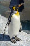 penguin Immagini Stock