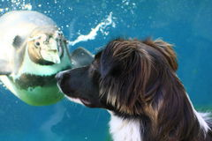 Penguin And Border Collie Stock Photo
