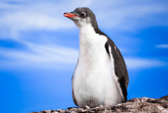 Penguin in Antarctica Stock Image