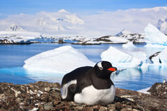 Penguin in Antarctica Royalty Free Stock Image