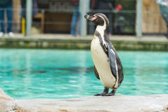 Penguin from the Antartic. But these flightless birds are in fact dotted all over the southern hemisphere including South America, Africa and the Galapgos stock image