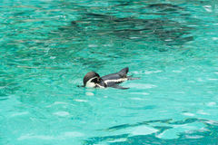 Penguin from the Antartic. But these flightless birds are in fact dotted all over the southern hemisphere including South America, Africa and the Galapgos Stock Photography