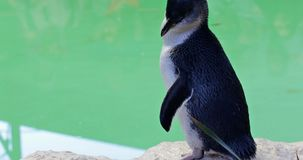 Penguin in Australia. A cute Little Penguin standing near the water at Penguin Island in Rockingham, near Perth, Western Australia. Penguin Island is famous for stock video