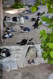 Penguin on the background of a group of penguins. Zoo royalty free stock photo
